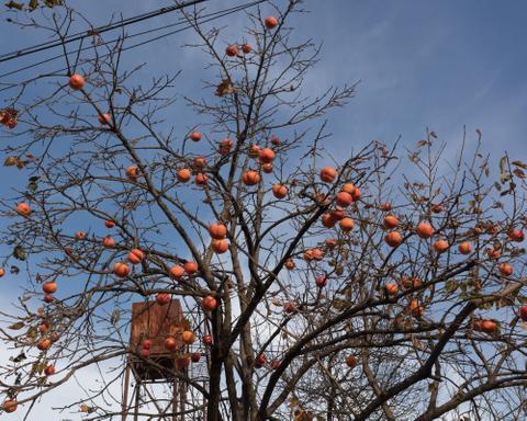 Kaki Tree, Kutaisi, 2017